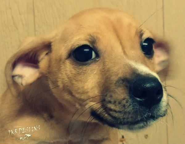 Halt-Animal-Adoption-Kingman-AZ-pup1