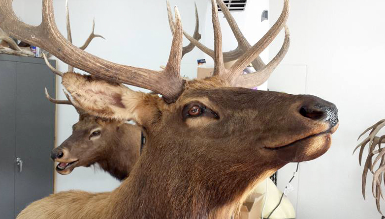 Down-Mount-Taxidermy-Taxidermist-Kingman-AZ-4